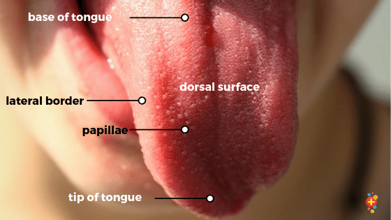 Surface anatomy of the tongue