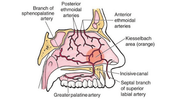 Sagittal view of nose showing blood supply of inner aspect